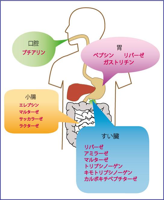 人体の各所から、「消化酵素」は分泌されています ...